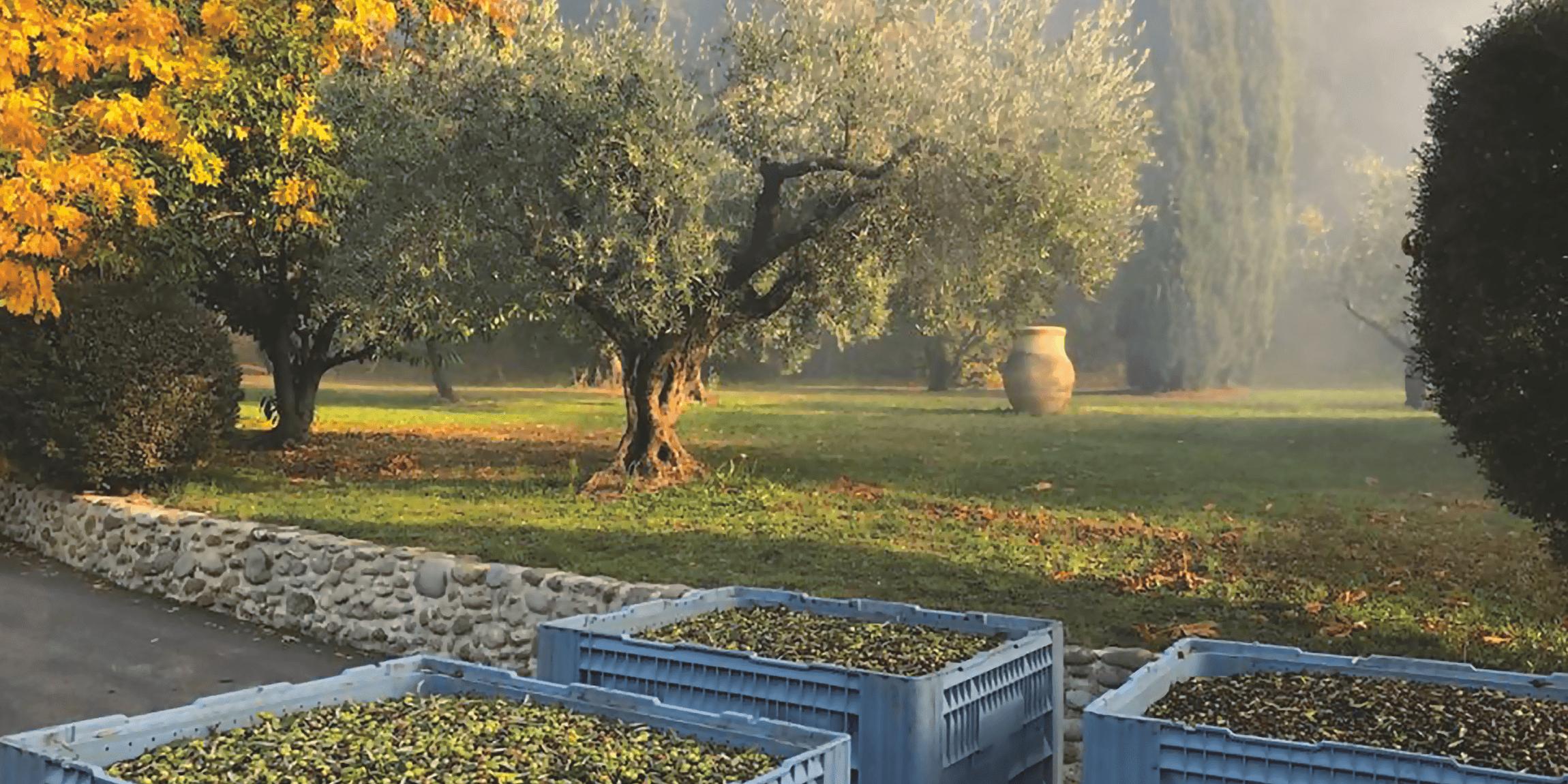 Olives-récolte